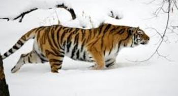 Helping the Siberian Tigers